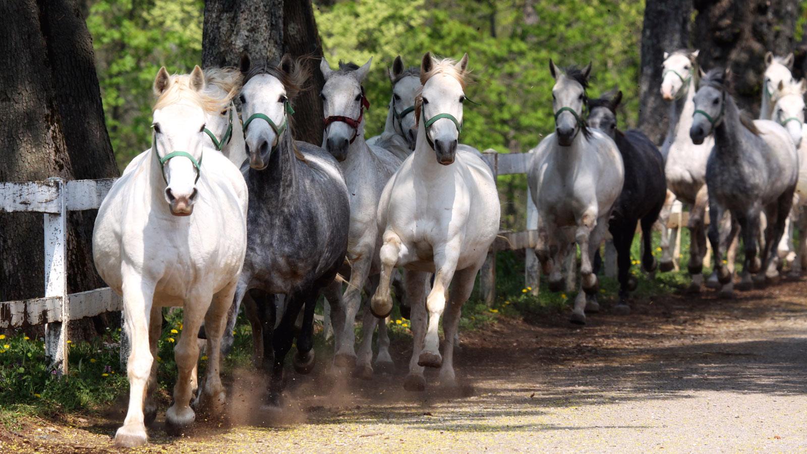 cavalli-lipizzani